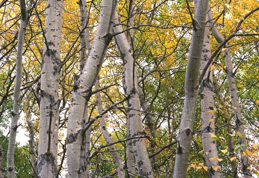 Fall Birches