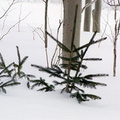 Small Trees in Snow